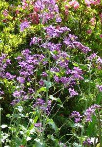 ルナリアの花