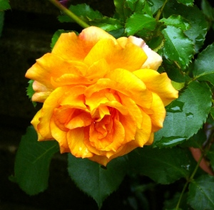 つる薔薇(サハラ'98)