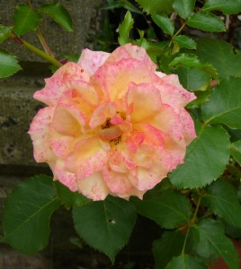つる薔薇(サハラ'98)その2