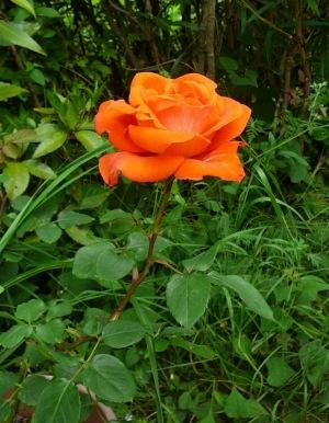 四季咲き大輪薔薇(ローラ)