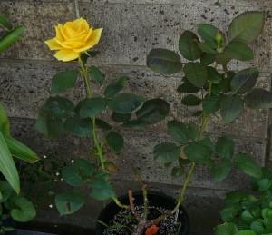 四季咲き薔薇「インカ」