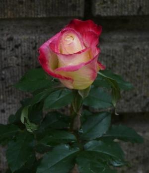 ダブル ディライトの花
