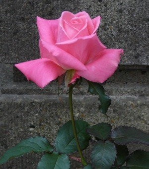四季咲きバラ「芳純」