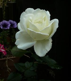 四季咲きバラ「ホワイト クリスマス」