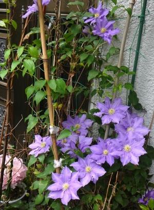 クレマチスの花20160429